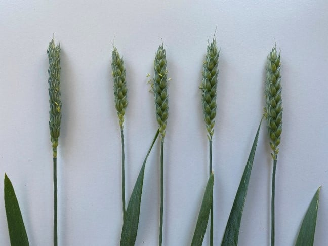 Picture of different wheat spikes