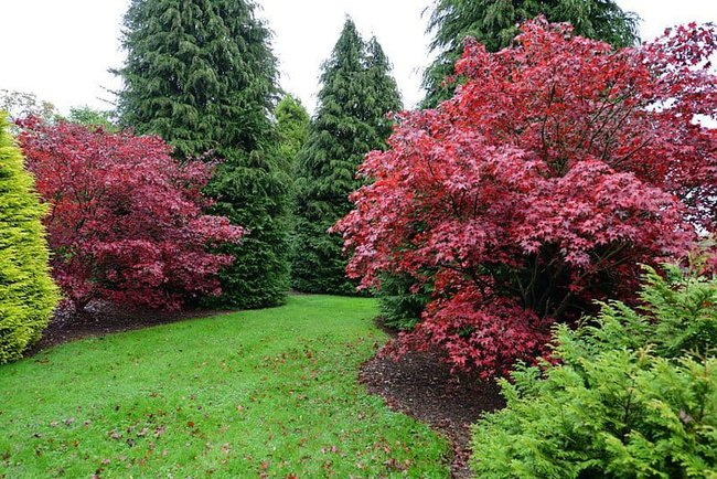 nymans_gardens_the_autumnal_colour_of_two_japanese_maples_contrasting_with_evergreens_in_the_pinetum