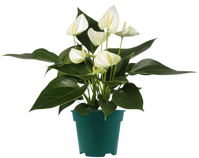 Witte anthurium