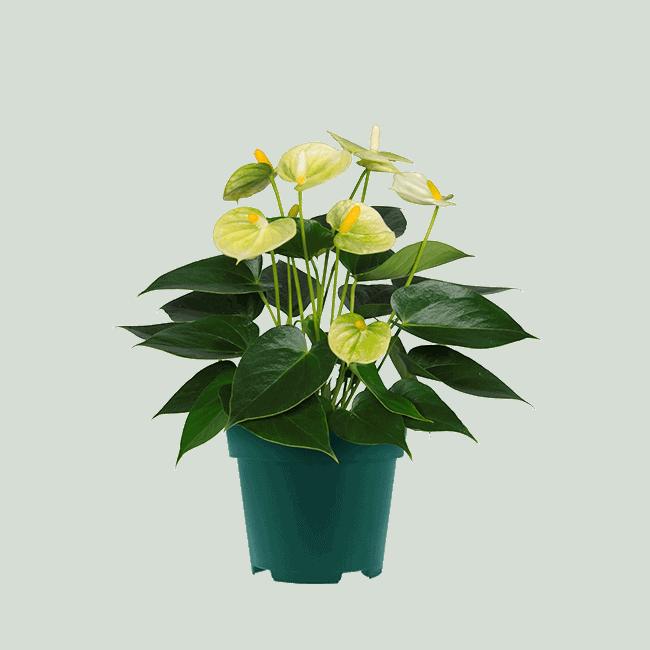 4445_Vanilla_9cm anthurium