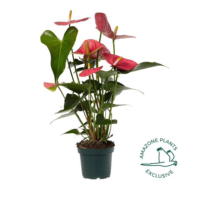 Colorado-anthurium-12cm