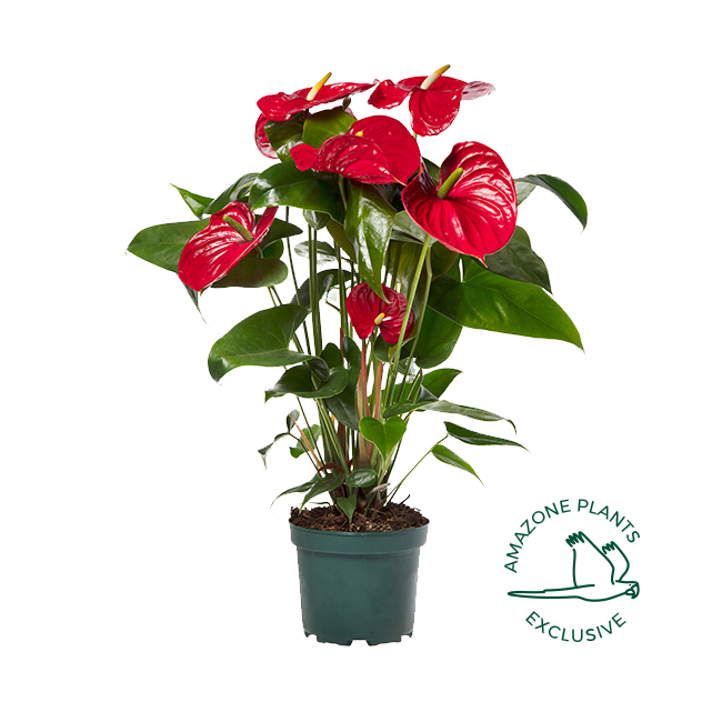 Nevada anthurium 17cm exclusive