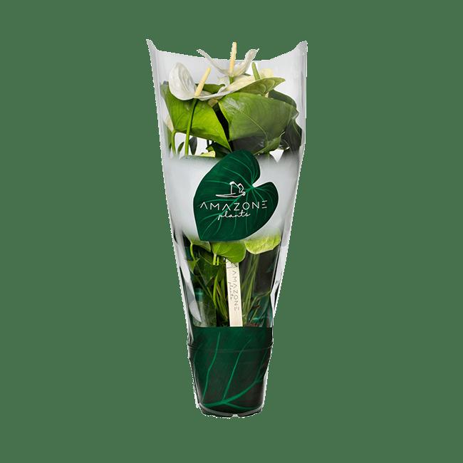 Samora 20190827SA-16-14cm-P3