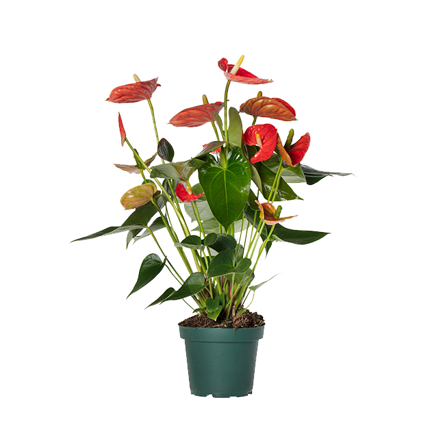 Sierra-Orange-anthurium-14cm