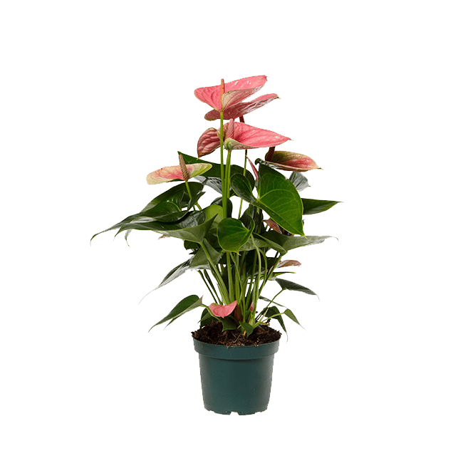 Sweet-dream-anthurium-12cm