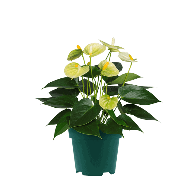 Vanilla_9cm anthurium