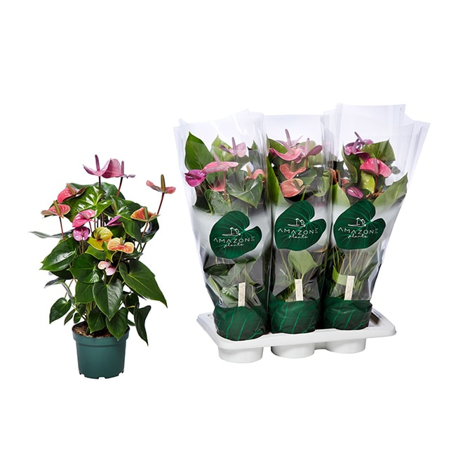 Amazone Plants Cavalli 17cm assortiment met tray