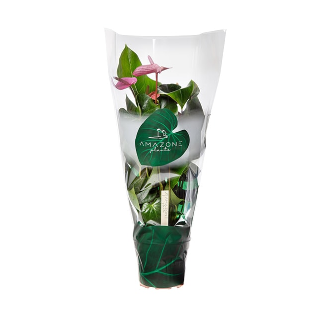 Amazone Plants Cavalli 17cm assortiment met hoes