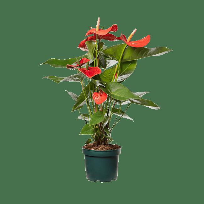Amazone Plants Nebraska 17cm assortiment