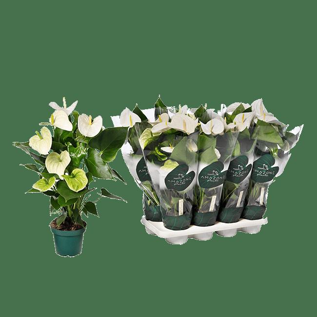 Samora anthurium-tray-14cm