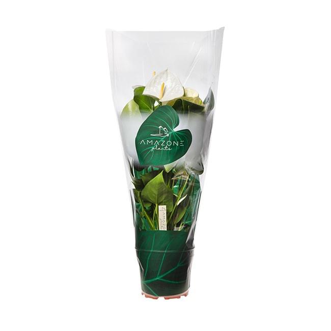 Amazone Plants Samora 17cm assortiment met hoes