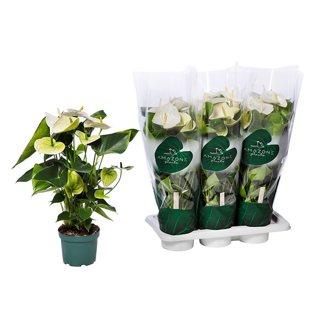 Amazone Plants Samora 17cm assortiment met tray
