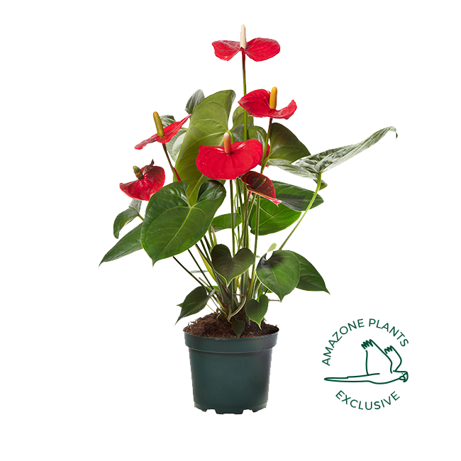Amazone Plants Turenza 17cm exclusive