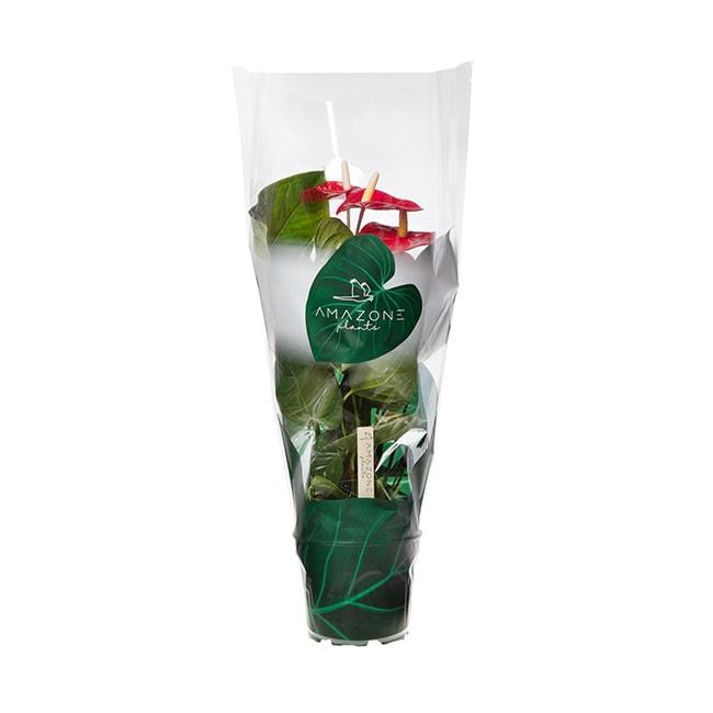 Amazone Plants Turenza 17cm exclusive met hoes