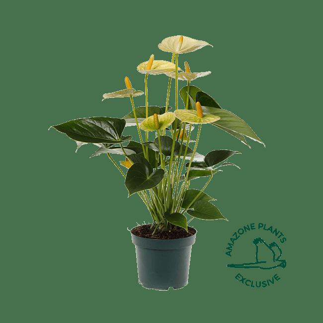 Vanilla-anthurium-12cm