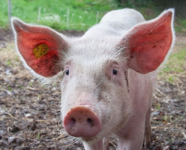 Genetically Altered Pigs For Human Skin Grafts