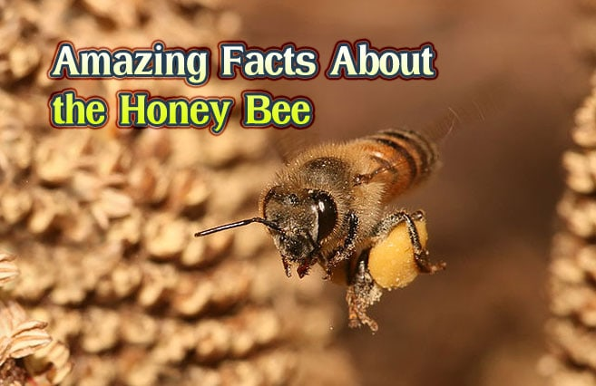 Photo of Amazing Facts About the Honey Bee