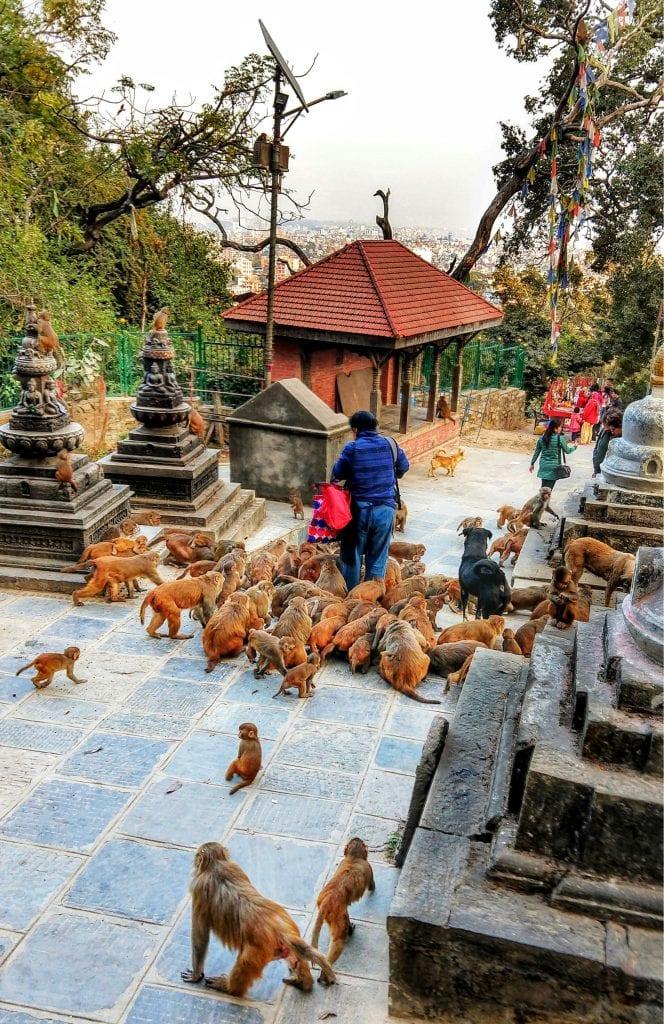 在尼泊尔加德满都swayambhunath的猴庙喂猴子