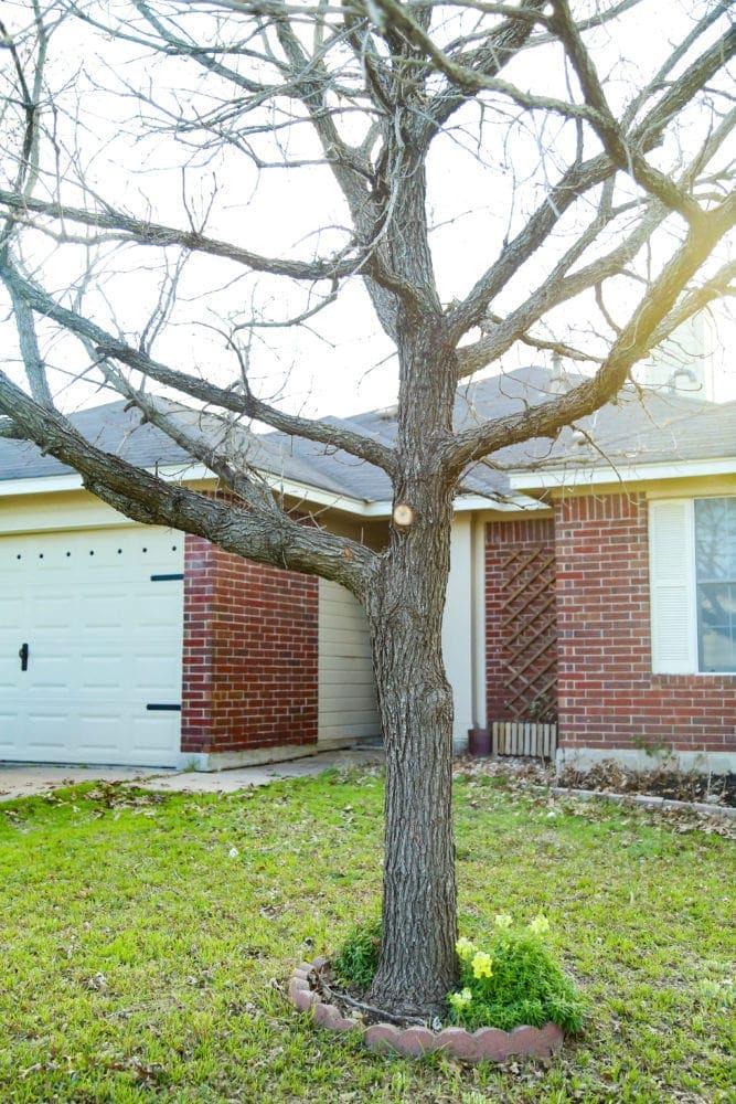 front yard tree