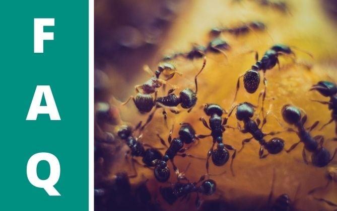 Ameisen in der Erde von Sukkulenten sind ärgerlich.