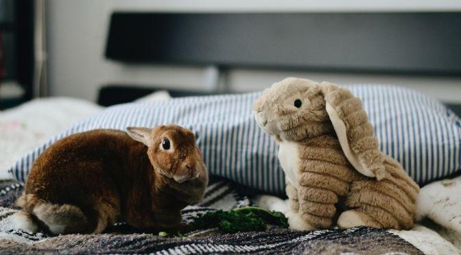 rabbit and stuffed rabbit toy