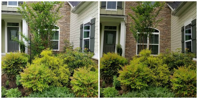 Before and After of Foundation planting Pruning
