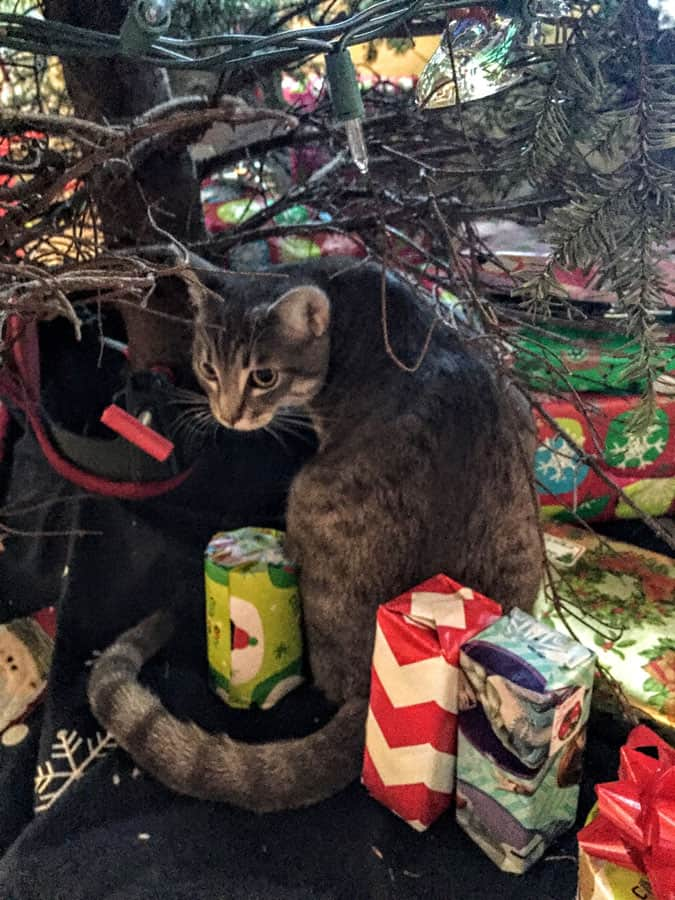 A cat exploring under a Christmas tree.