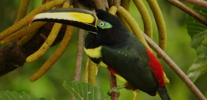Toucans of the Rainforest in Ecuador