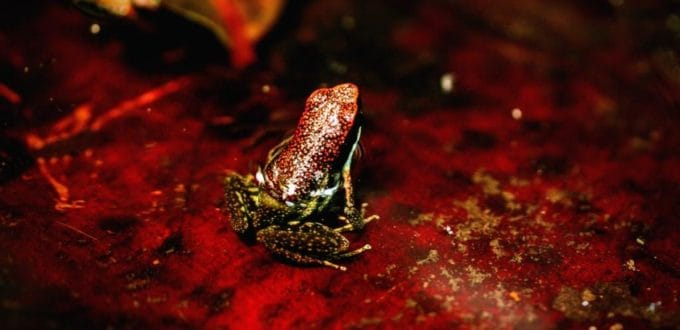 Frogs of the Amazon Rainforest in Ecuador