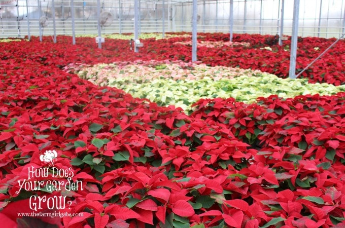 Poinsettias grown in Russo's Fruit & Vegetable Farm's Greenhouse.