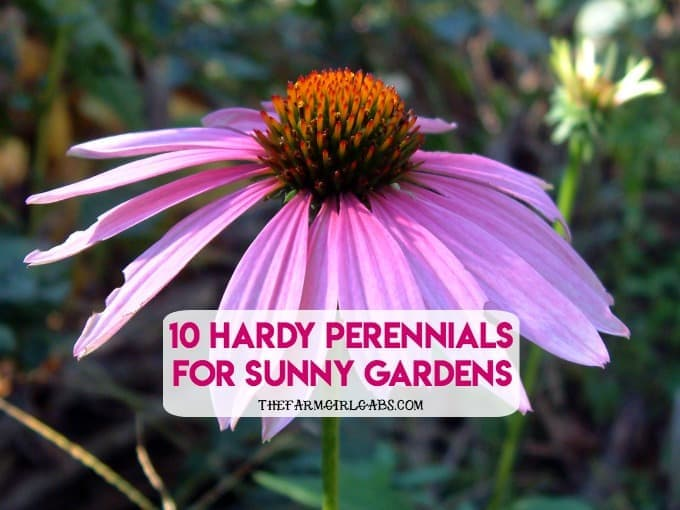 10 Hardy Perennials For Sunny Gardens