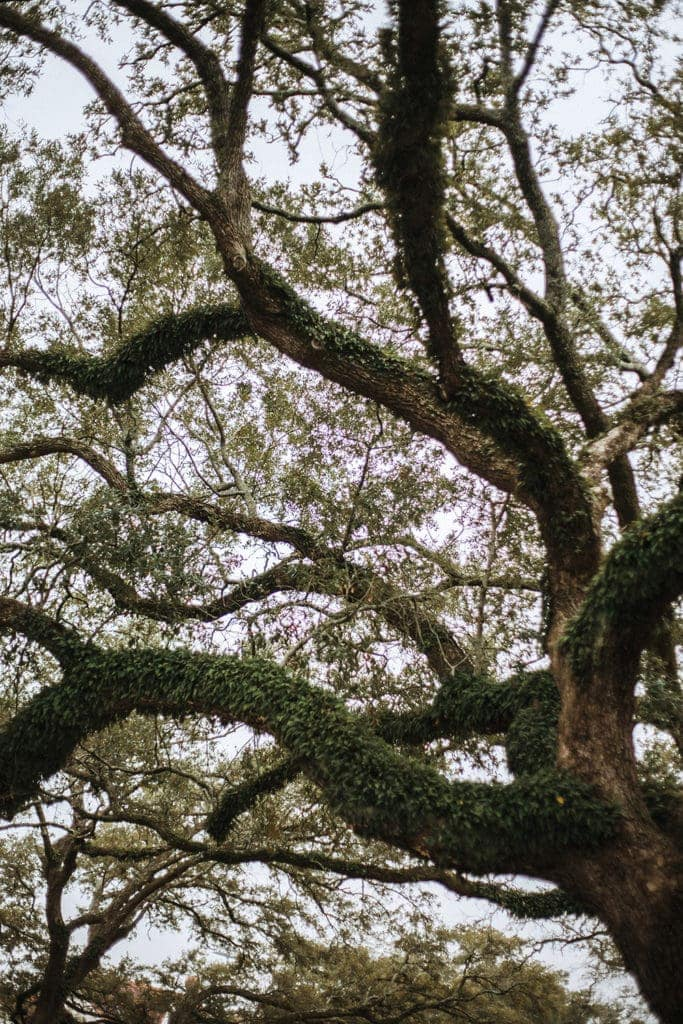 new orleans trees