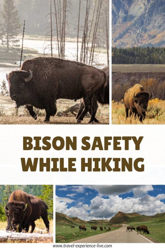 Bison Safety Tips: How to Prevent Bison Attacks While Hiking