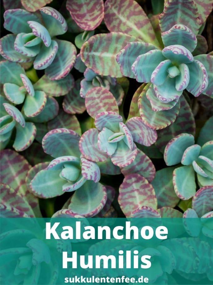 Die schöne Kalanchoe Humilis ist eine Sukkulente.