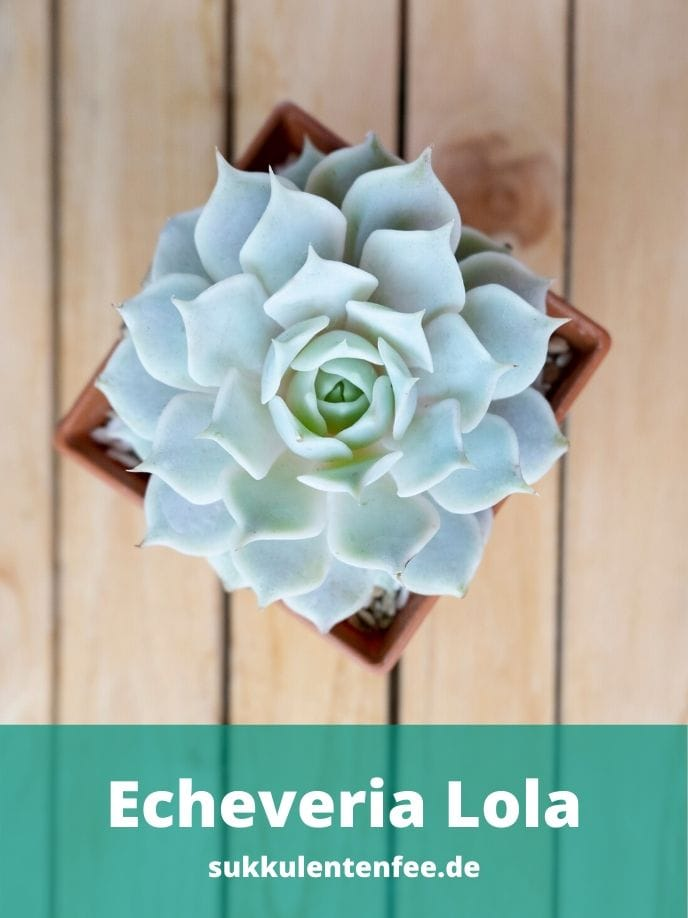 Die Echeveria Lola ist eine wundervolle Sukkulente.