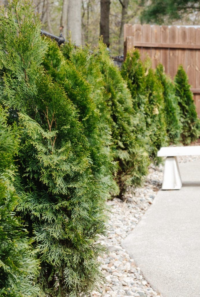 arborvitae planted by fence