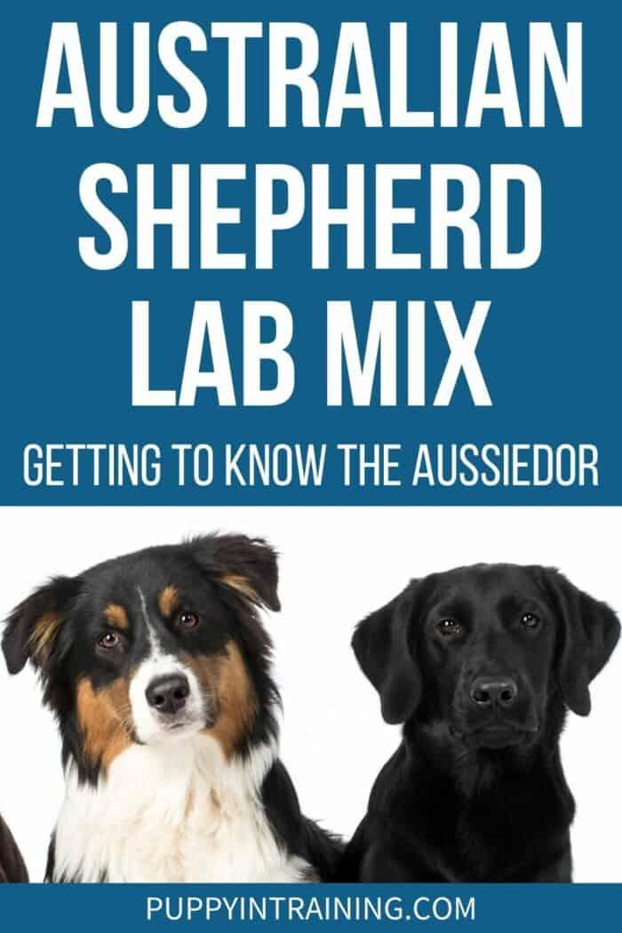 Australian Shepherd Lab Mix - Getting to Know The Aussiedor - Tricolor Australian Shepherd and Black Lab.