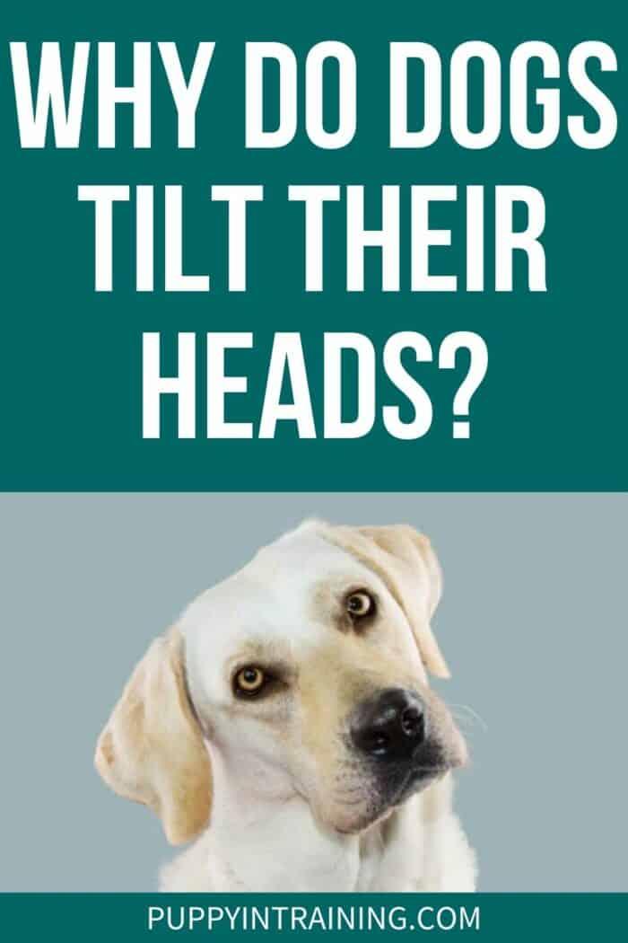 Why Do Dogs Tilt Their Heads? - Yellow Lab Tilting Head