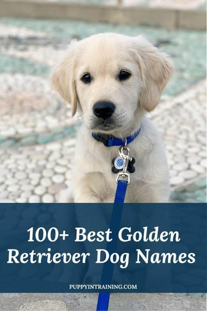 100+ Best Golden Retriever Dog Names - English Cream Golden Retriever puppy sitting on pebbled concrete