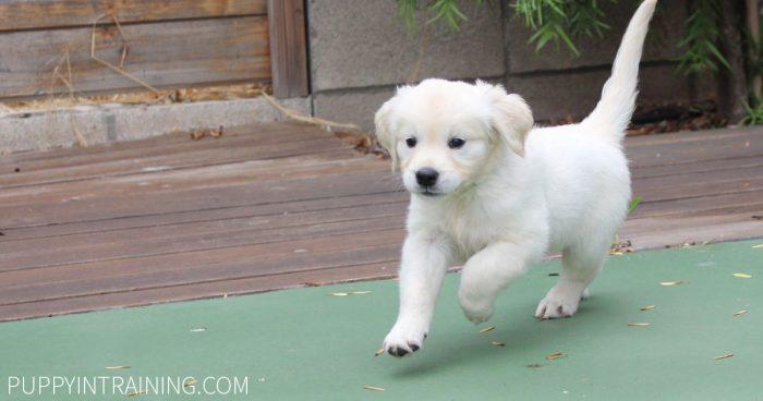 Golden Puppy running across tennis court