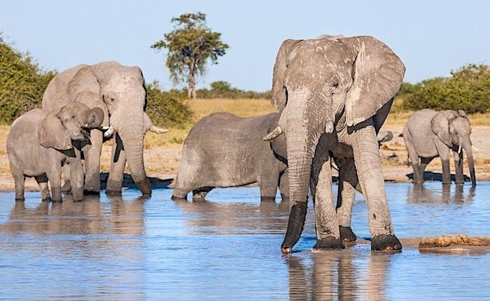ボツワナ、チョベ国立公園水辺の象たち