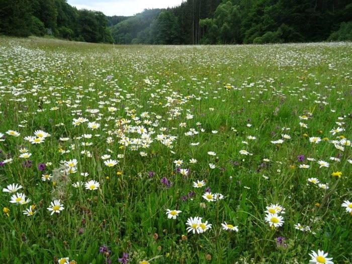 Artenreiche Wiese während der Blüte im Dreisbachtal
