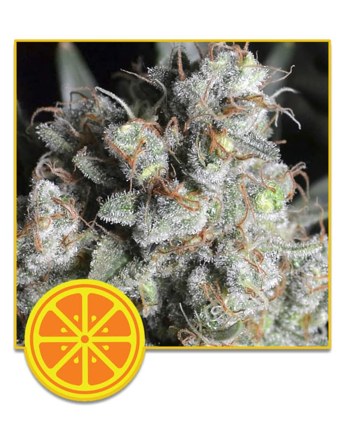 Free Seeds Tangy