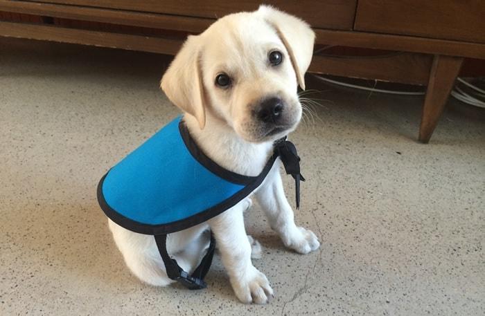 Archer Puppy In Training