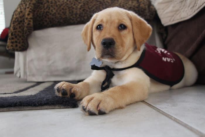 Adelle in puppy in training vest