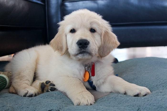 My Golden Bear Puppy