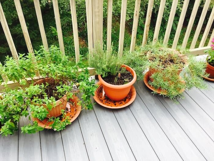 Herbs grow well in pots. Some, like tarragon (right) and thyme (middle), come back every year. Mint (left) grows like a weed in your garden, but in pots it doesn't usually survive the winter.