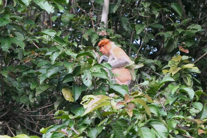 Proboscis Monkey: Big Noses and Big Bellies