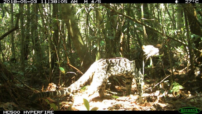Clouded leopard sunning itself on eMammal camera traps. This one is from the Tuanan Mammal Survey project in Indonesia.