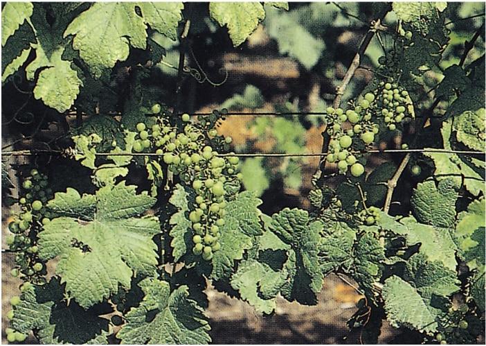 vörös foltok a szőlő levelein hogyan kell kezelni)